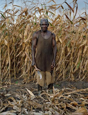 David Matandala Age 75, Harvesting Maize In Mlonda Village